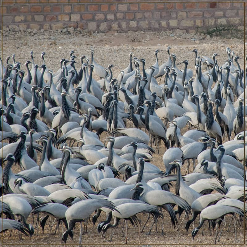 Visit The Kitchan bird sanctuary Rajasthan